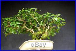 Bonsai outdoor winterhart Jasmin, Phyladelphus, H45 B60 D11 cm