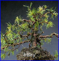 Bonsai outdoor winterhart Kiefer, Pinus, H23 B45 D2,5 cm