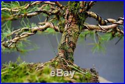Bonsai outdoor winterhart Kiefer, Pinus, H33 B41 D4 cm