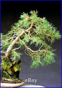 Bonsai outdoor winterhart Kiefer, Pinus, H52 B55 D4 cm