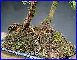 Bonsai outdoor winterhart Lärche, Larix, H40 B37 D2,5 cm