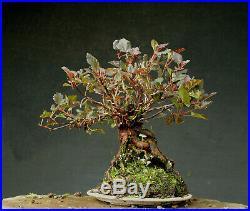 Bonsai outdoor winterhart Physocarpus, H32 B36 D10 cm