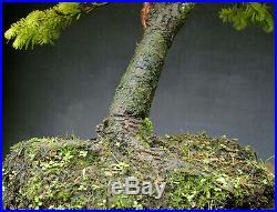 Bonsai outdoor winterhart Tanne, Abies, H62 B65 D6 cm