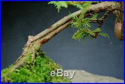 Bonsai outdoor winterhart Thuja H32 B57 D3 cm