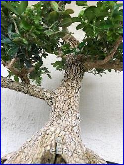 Bonsai, pre bonsai, beautiful base, Old Japanese boxwood specimen