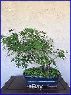Bonsai, pre bonsai, twin trunk Arakawa cork bark Japanese Maple specimen HTF