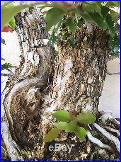 Bonsai, pre bonsai, twin trunk Bougainvillea specimen HTF