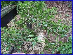 Bonsai specimen, Fukien tea tree, (carmona microphylla) Import. Nice and fat