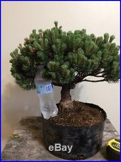 Bonsai treeDwarf mugo Pine Sherwood