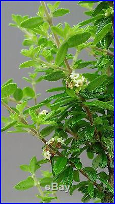 Bonsai tree, Bahama Berry, Nashia Inagunesis, Starter Tree, Live Tree