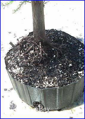 Bonsai tree, Bald Cypress, Taxodium distichum, Prebonsai, No Reserve Auction