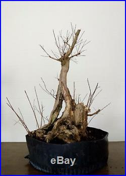 Bonsai tree, Crape Myrtle, Incredible Deadwood and Trunk, Gnarly Old Bonsai