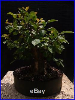 Bonsai tree, Crape Myrtle, Lavander Flowers, Advanced Prebonsai, Awesome Trunk