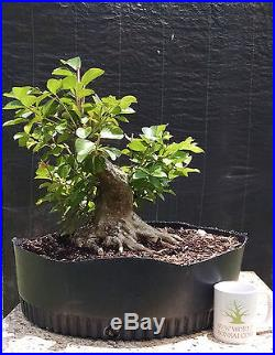Bonsai tree, Crape Myrtle, Pink Flowers, Advanced Prebonsai, Sumo Style, +Nebari