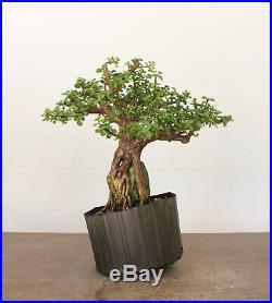 Bonsai tree, Dwarf Jade, True Root Over Rock Style, Unique Specimen