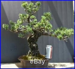 Bonsai tree Japanese 5 needle white pine
