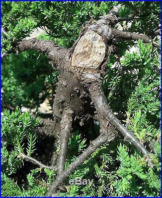 Bonsai tree, Japanese Dwarf Juniper, Procumbens Nana, No reserve Auction