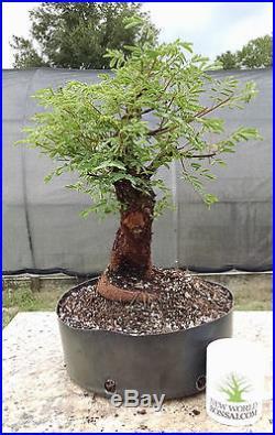 Bonsai tree, Mimosa, Prebonsai, Super Tiny Leaves, Unusual Tropical Variety #1