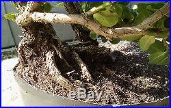 Bonsai tree, Natal Plum, Prebonsai, Flowering Bonsai, Beautiful trunk line