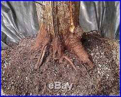 Bonsai tree, Pond Cypress, Prebonsai, Outstanding Nebari, Well Established