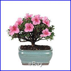 Bonsai tree Tools Bonsai Tree Flowering Satsuki Azalea (Outdoors)