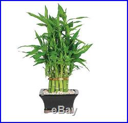 Bonsai tree Tools Lucky Bamboo Two Tier Pyramid (Indoor)