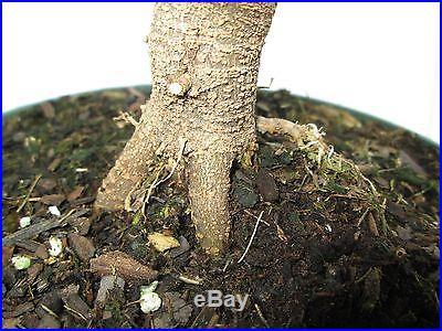 Bonsai tree Trident maple (Acer buergeranum) pre-bonsai 6 years old # 2