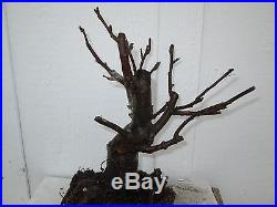 Bonsai tree flowering crabapple (6-7 years old) # 3 pre-bonsai