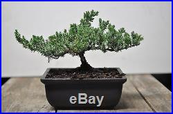 Bonsai tree japenese juniper 2-3 years