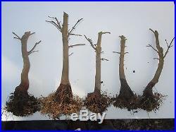 Bonsai trees Trident maple (pre-bonsai) Acer buergerianum lot of 10 stubs