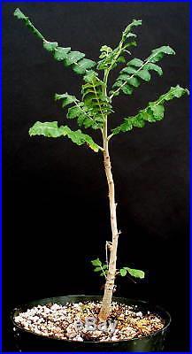 Boswellia sacra seeds 100 True Frankincense Biblical Boswellia sacra seeds