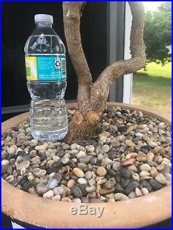 Bougainvillea Bonsai Tree (One-Of-A-Kind Tree)