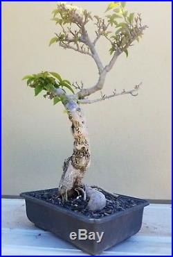 Bougainvillea Bonsai Tree, Sale