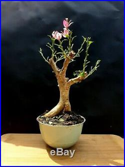 Bougainvillea Pre bonsai Amazing plant Approximately 16 years old plant