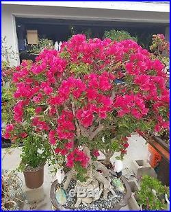 Bougainvillea Red Bonsai Tree, SALE