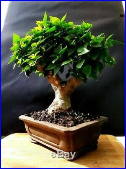 Bougainvillea SUNVILLEA ROSE Bonsai Approximately 25 years old plant