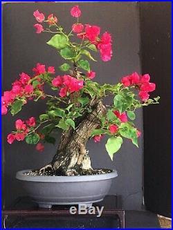 Bougainvillea Spectabilis Bonsai