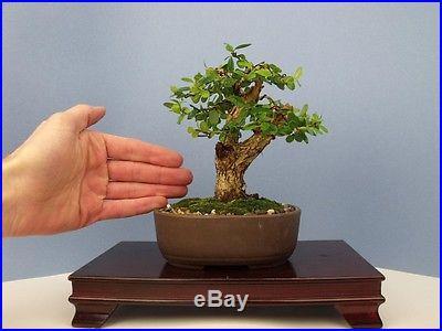Boxwood Specimen Shohin Bonsai Tree compare to pine maple juniper