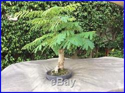 Brazilian Rain tree Specimen Plant