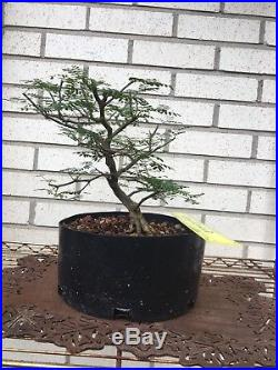 Brazilian Raintree Bonsai