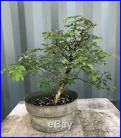 Brazilian Raintree Pre-Bonsai Tree by The Bonsai Supply