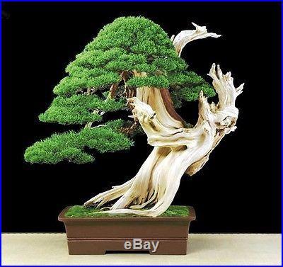 Indoor Bonsai Bristlecone Pine Pinus Aristata Seeds