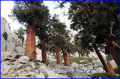 Bristlecone Pine (Pinus Aristata) Seeds OLDEST Living Tree in the WORLD! RARE