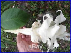 Brugmansia Cuttings Assorted