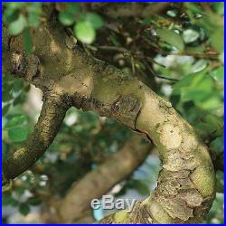 Brussel's Chinese Elm Bonsai New