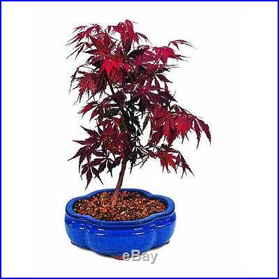 Brussel's Japanese Red Maple Bonsai New