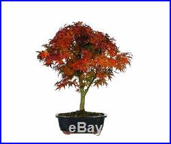 Brussels Japanese Maple Sharpes Pygmy Bonsai Plant Tree 10 Years old