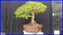Buxus microphylla, bonsai, med, healthy, specimen, boxwood, Kingsville cousin