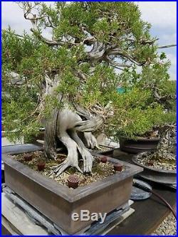 CALIFORNIA Juniper Bonsai tree live 500 years old LA grower twisted trunk