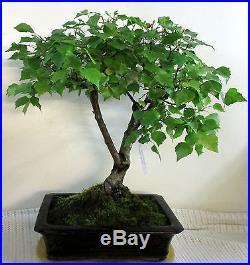 CBG, Outdoor Bonsai, einheimische Birke, Betula pendula, ca. 25 Jahre, 702